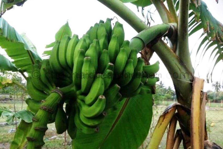 plantains2